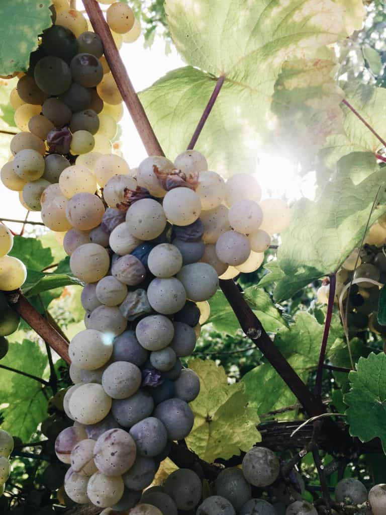 bunch of white grapes 1751537